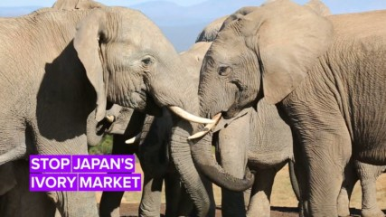 Japan's local ivory market is one of the largest in the world