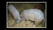 Странна Кръстоска Между Прасе И Овца(смях)