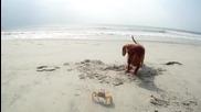 Кучето си играе на плажа с голям морски рак