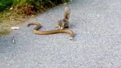 Лалугер срещу черна американска змия