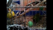 Папагали- червеночели какарики
