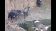 гонче и барак - на прасе