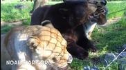 Тигър, мечка и лъв - най-добри приятели от 15 години