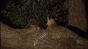 Леопард Защитава Бебе Бабун След Като Убива Майка Му