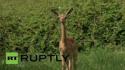 Германия: Запознайте се с Tayo, първата дългошия антилопа, родена в Европа от 49 години насам