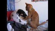 бой между котки за легло