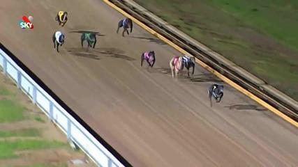 Котка се разхожда на пистата по време на гонка с кучета