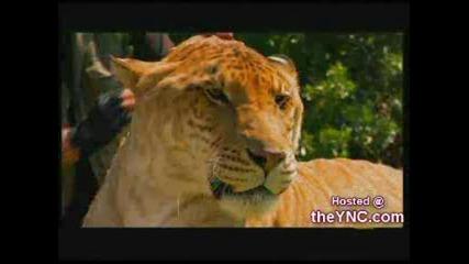 Кръстоска Между Лъв И Тигър