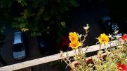 Пчела събира прашец в голямия град