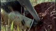 Гигантският Мравояд ...