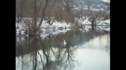 Лебед в река Белица