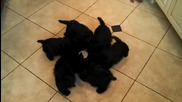 Танца на гладните кученца ...