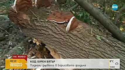Силният вятър прекърши дърво в Борисовата градина
