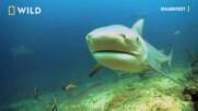 Бичите и черноперките акули