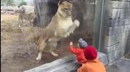 Лъвица се заиграва с малко бебче в зоологическата градина