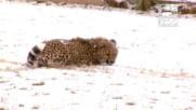 Какво се случва, когато гепарди видят за първи път сняг?
