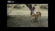 Сокол напада куче