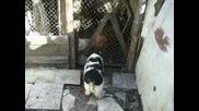 българско овчарско куче на 60 - дни