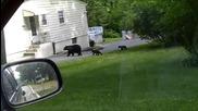Семейство мечки небрежно скитат в Ню Джърси
