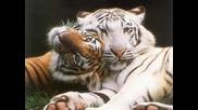 Снимки на тигри