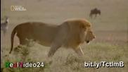 Мъжки лъв изкопава бърлогата на Хиена и убива малките