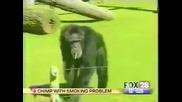 Маймуна пафка като комин