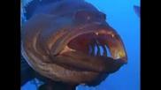 Карибите - Риба чистач