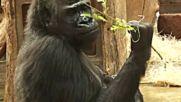 Горила роди изненадващо в зоопарка в Прага (ВИДЕО)
