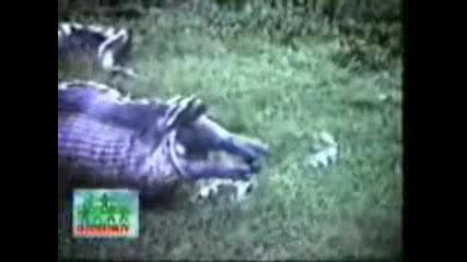 Змия изяжда хипопотам и след това го изхвърля ! ! ! Изумително !