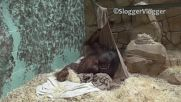 Орангутан си прави хамак