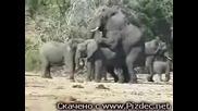 Слонове Се Чифтосват - Смях