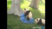 Малка панда се катурва от люлка !!! Смях