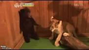 Малко Лъвче Плаши Мечка До Смърт 100% Смях