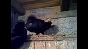 Паламарски Гълъб