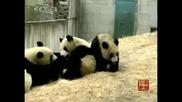 Китайски панди се настаниха в нов дом