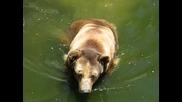 Кафява мечка в Софийския зоопарк
