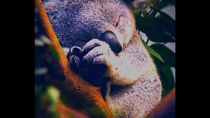 Koala bear. |