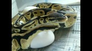 Питон Снася Огромни Яйца