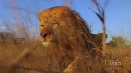 Лъвове нападат африкански бивол