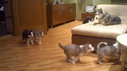 Мама хъски учи кученцата си как да се забавляват