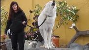 Полярен бял вълк забавлява възпитано с виенето си посетителите на зоопарк в Австралия