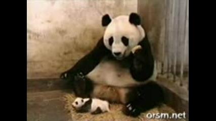 Кихаща Панда (много смях) :D