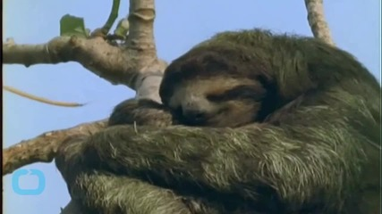 Baby Sloths Hate Exercise as Much as You, Still Look Cuter Doing it