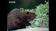 Bbc The Beaver - A Mooses Best Friend - A Moose Named Madeline