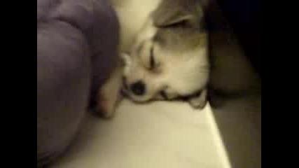 Сладко И Заспиващо Чихуахуа