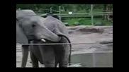 Слон Си Пъха Хобота В Задника На Друг Слон И Си Хапва