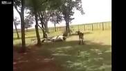 Коч трупясва крава с един удар
