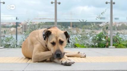 Боджи - любимото куче на Истанбул