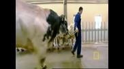 Гмо крава...