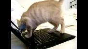 Котка изучава лаптоп